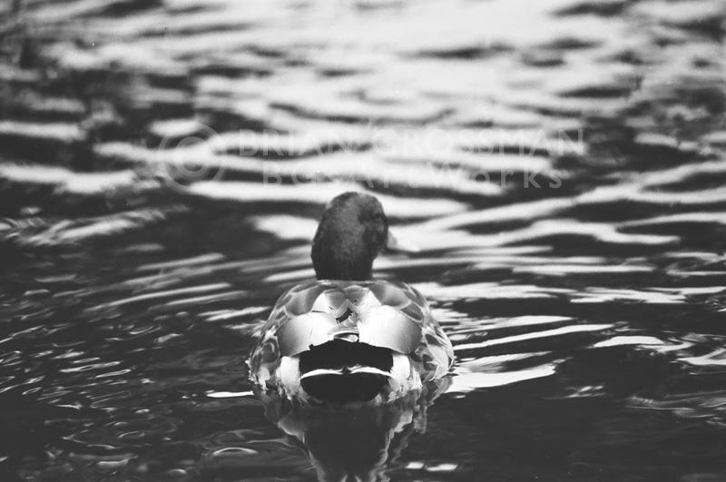B&W Photograph - Duck by Brian Grossman