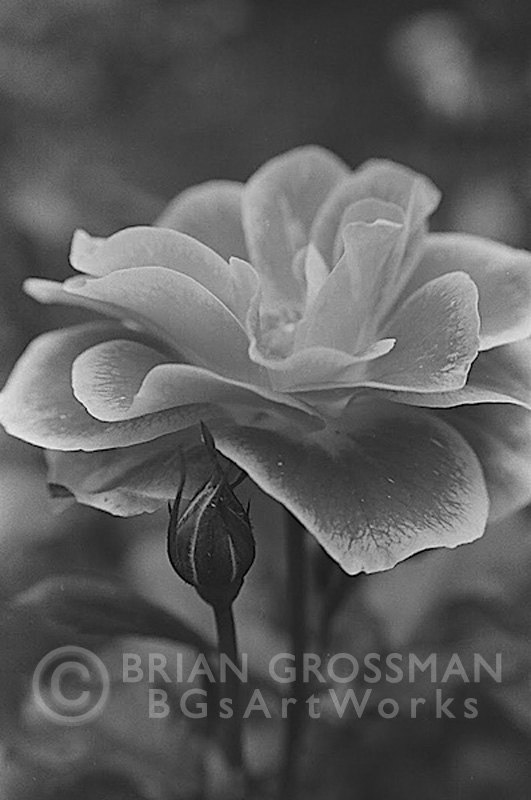 B&W Photograph - Rose by Brian Grossman