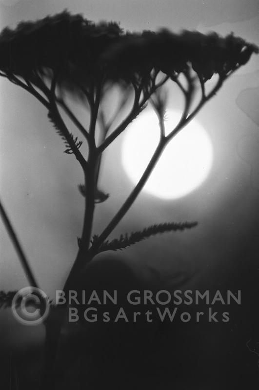 B&W Photograph - Yarrow by Brian Grossman